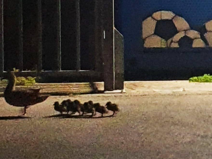 Pačja škola: Dva su sata čuvali i pratili jato do parka Maksimir