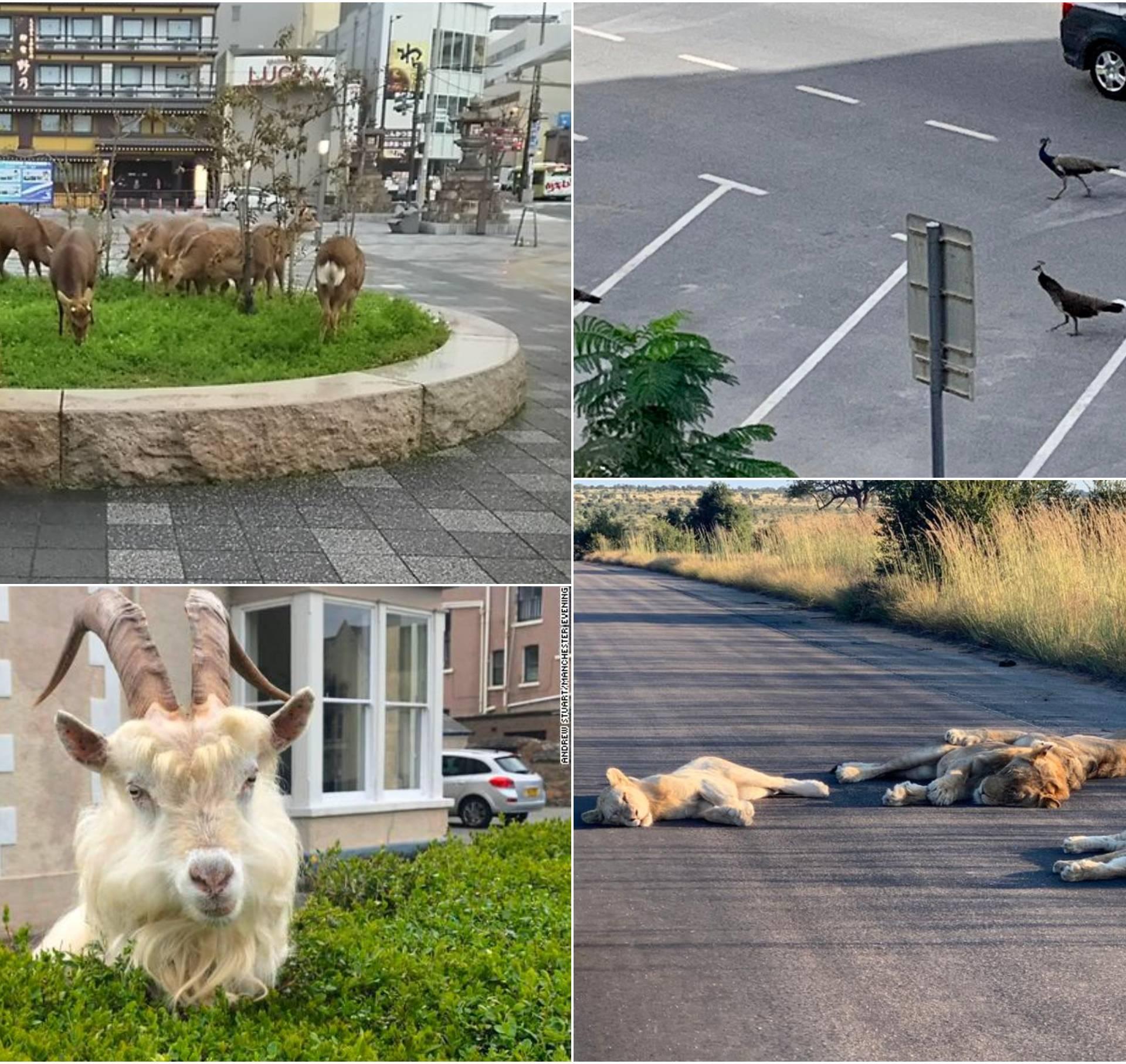 Divlje životinje istražuju ulice grada dok ljudi sjede kod kuće