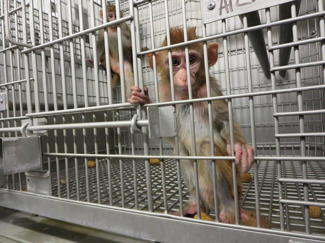 Majmuni u laboratoriju