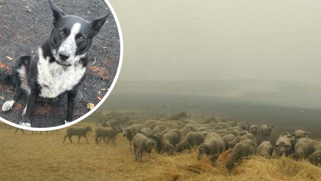 Patsy osjetila opasnost, otrčala je po ovce i spasila ih od vatre