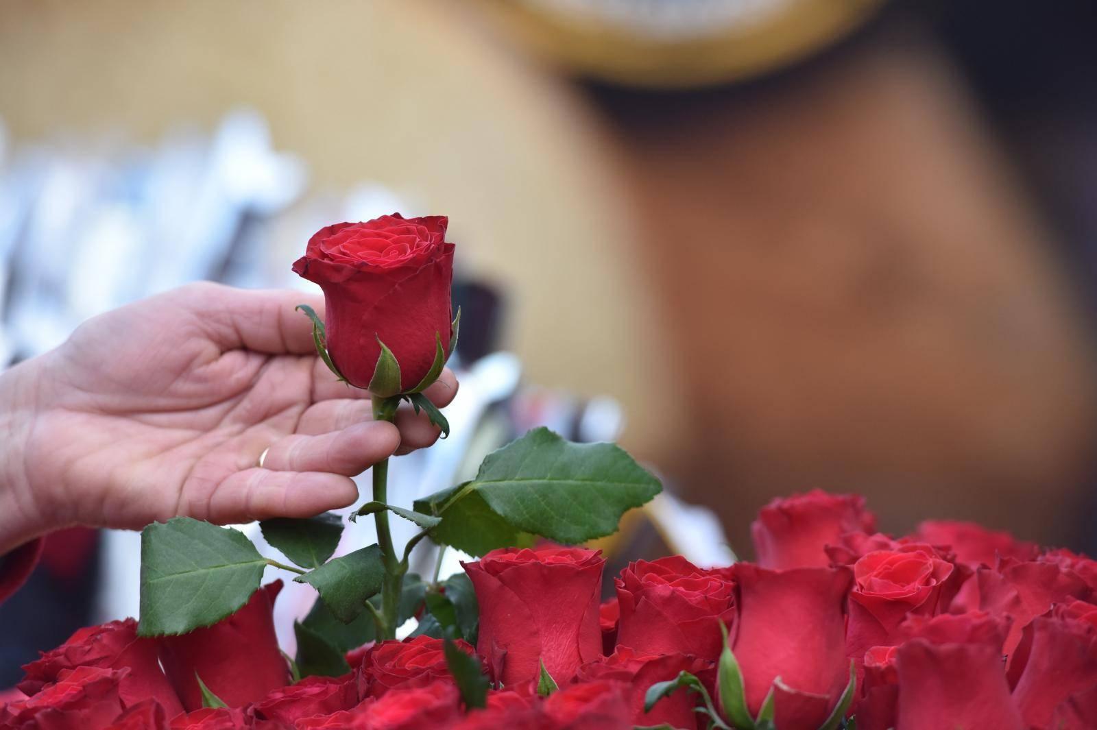 Šibenik: Od ranog jutra grad je u znaku crvenih ruža
