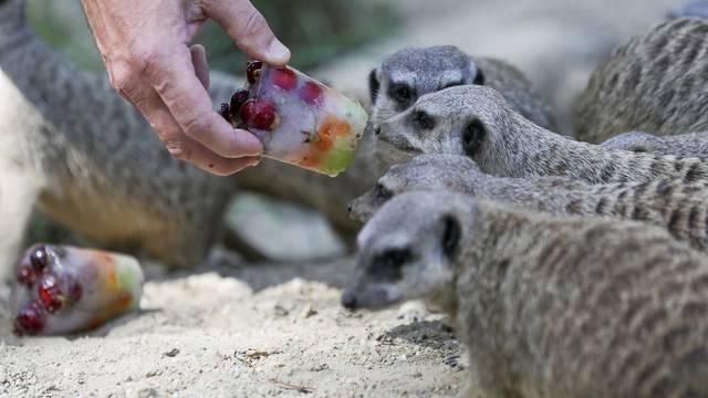 Zbog velikih vrućina životinje u zagrebačkom zoološkom vrtu dobile sladoledna osvježenja