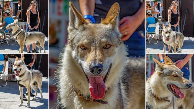 Čehoslovački vučji pas prošetao Pulom: Nastao je križanjem vučice i njemačkog ovčara