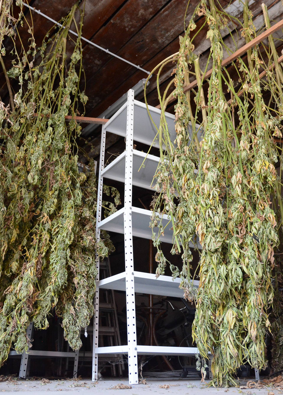 Daruvar: Policija zapljenila 30ak kilograma marihuane