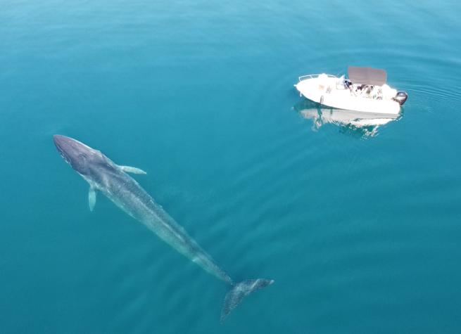 Šime, zvijer od 30 tona. Kitu u Velebitskom kanalu stigao je prijatelj: 'Nešto ih drži ovdje'