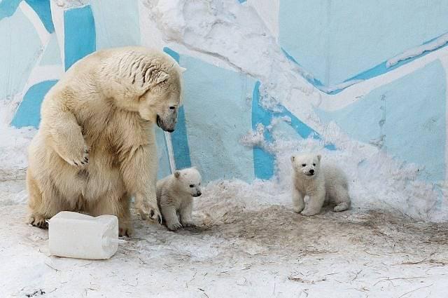 Polarni medvjedi prisiljeni jesti jedni druge da nekako prežive