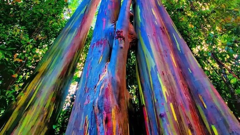 Dugin eukaliptus: Drvo za koje kažu da je najljepše na svijetu