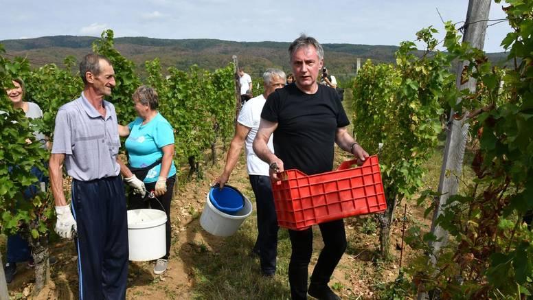Škoro je obrao grožđe: 'Moje vino popiju za jednu godinu'