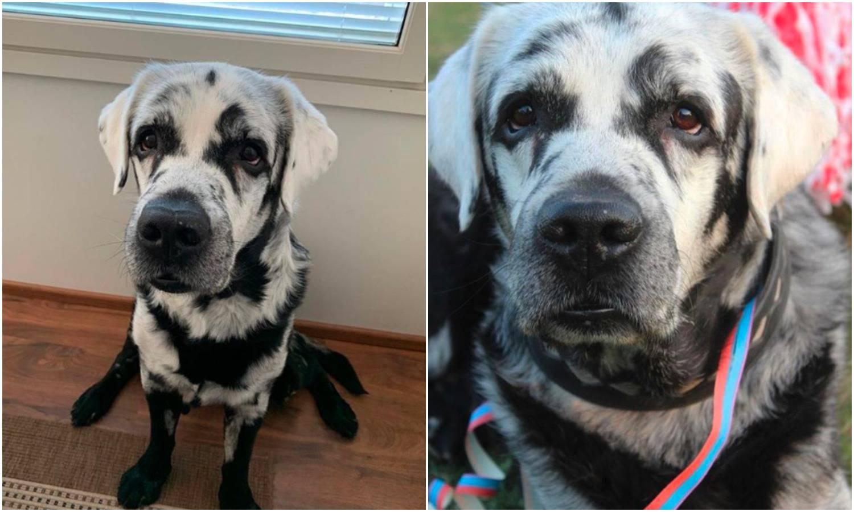 Labrador Blaze ima vitiligo, a 'šareno' krzno osvaja na prvu
