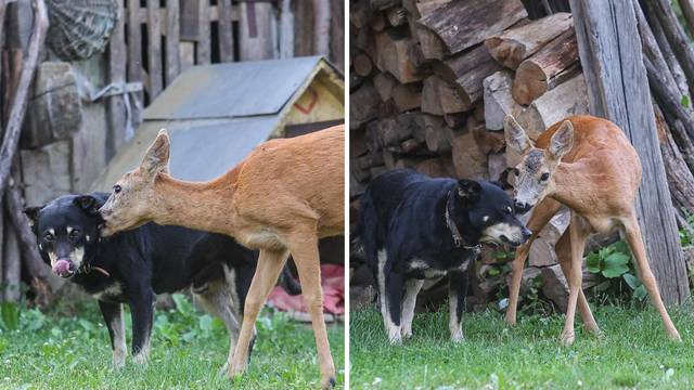 Kad je Campi sreo bambija: 'Ne prođe dan, a da srna ne dođe na igru svom najboljem prijatelju'