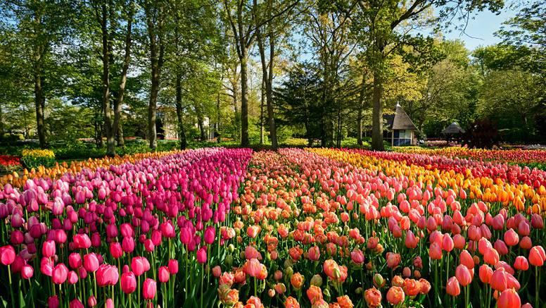 Vrt Europe: Posade  7 milijuna lukovica, a cvatu tek 8 tjedana