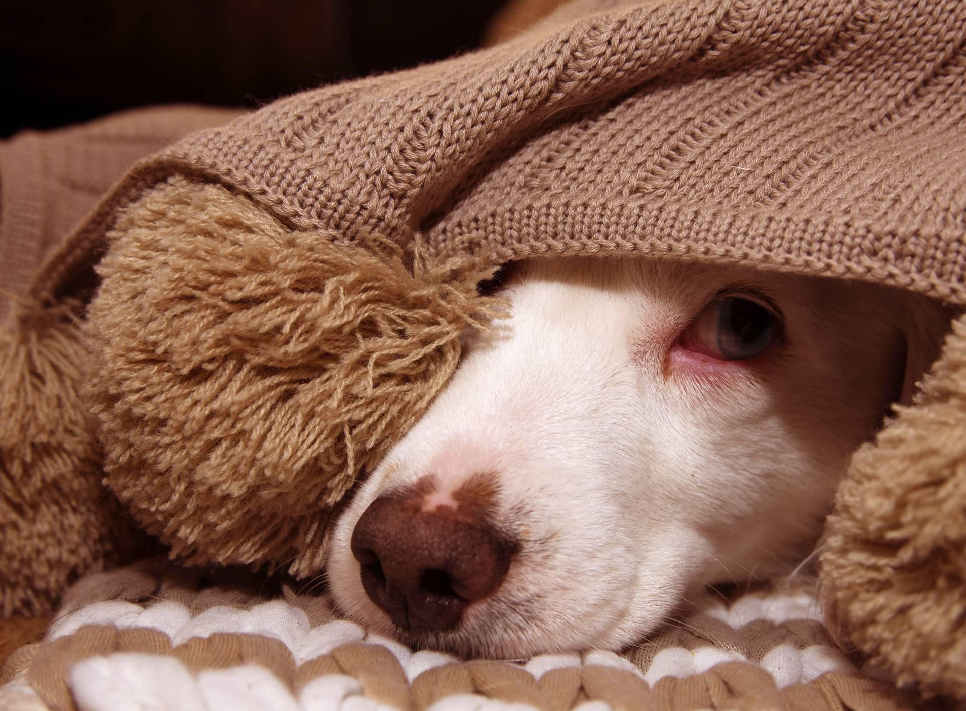 Ravnopravni pas u krevetu: Sve dobre i loše strane tog suživota