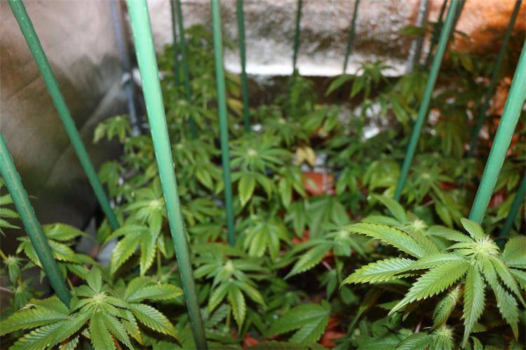 Pregled auta doveo policajce do šest laboratorija za uzgoj trave