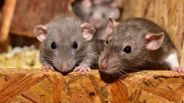 Trikovi kako držati miševe dalje od kuće - sve počinje u dvorištu