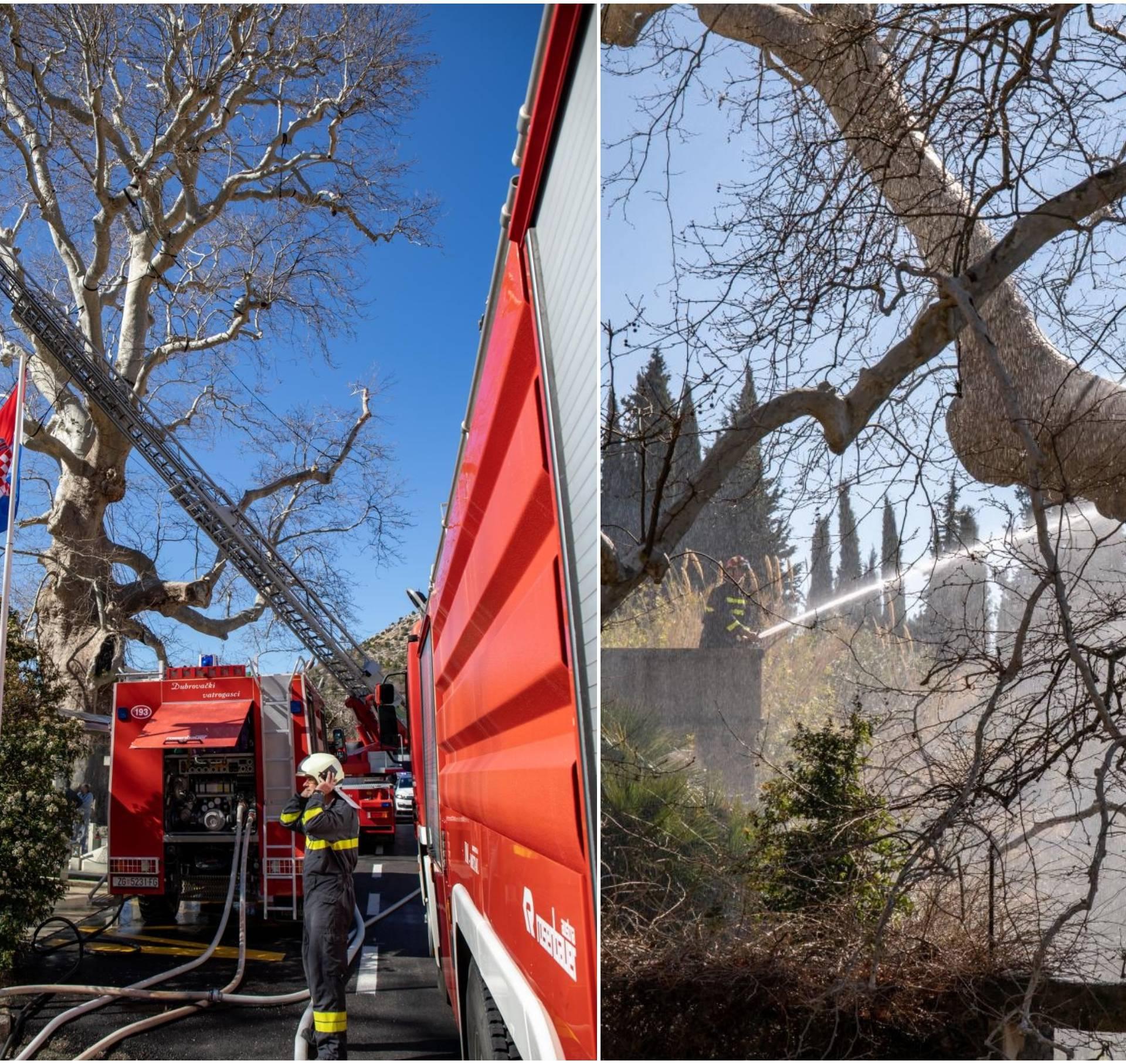 U Dubrovniku gorjelo drvo od 500 godina: Nema velike štete
