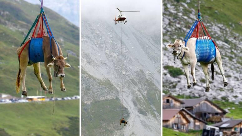 FOTO Krave na vožnji života: Do krda ih prevezli helikopterom