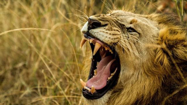 'Prema krvi i dijelovima tijela, lavovi su pojeli tri krivolovca...'