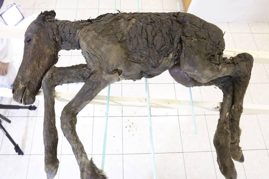 Iz tijela konja starog 42.000 godina izvukli su tekuću krv