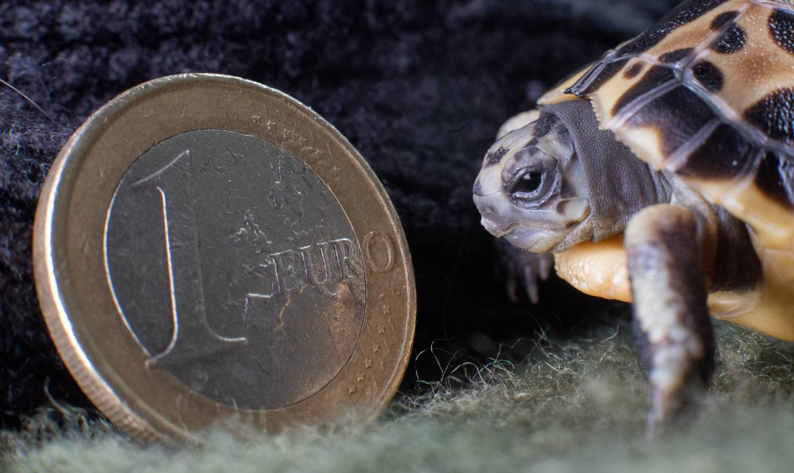 Madagascan spider turtle at Hannover Zoo
