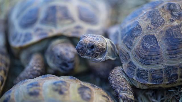Rimljani iščekaju bebe kornjače
