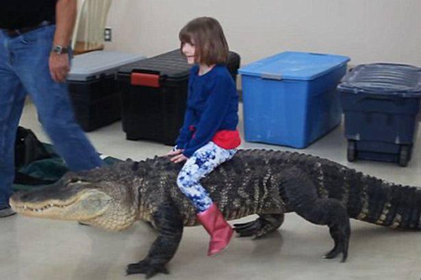 Ma, što bi moglo poći po zlu? Curica jaše velikog aligatora...