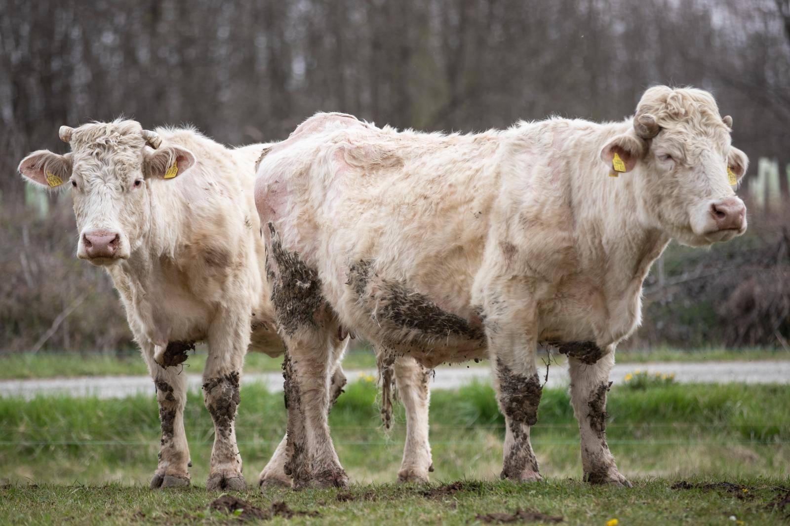 Zbog kravljih plinova maslac je tri puta više štetan za okoliš
