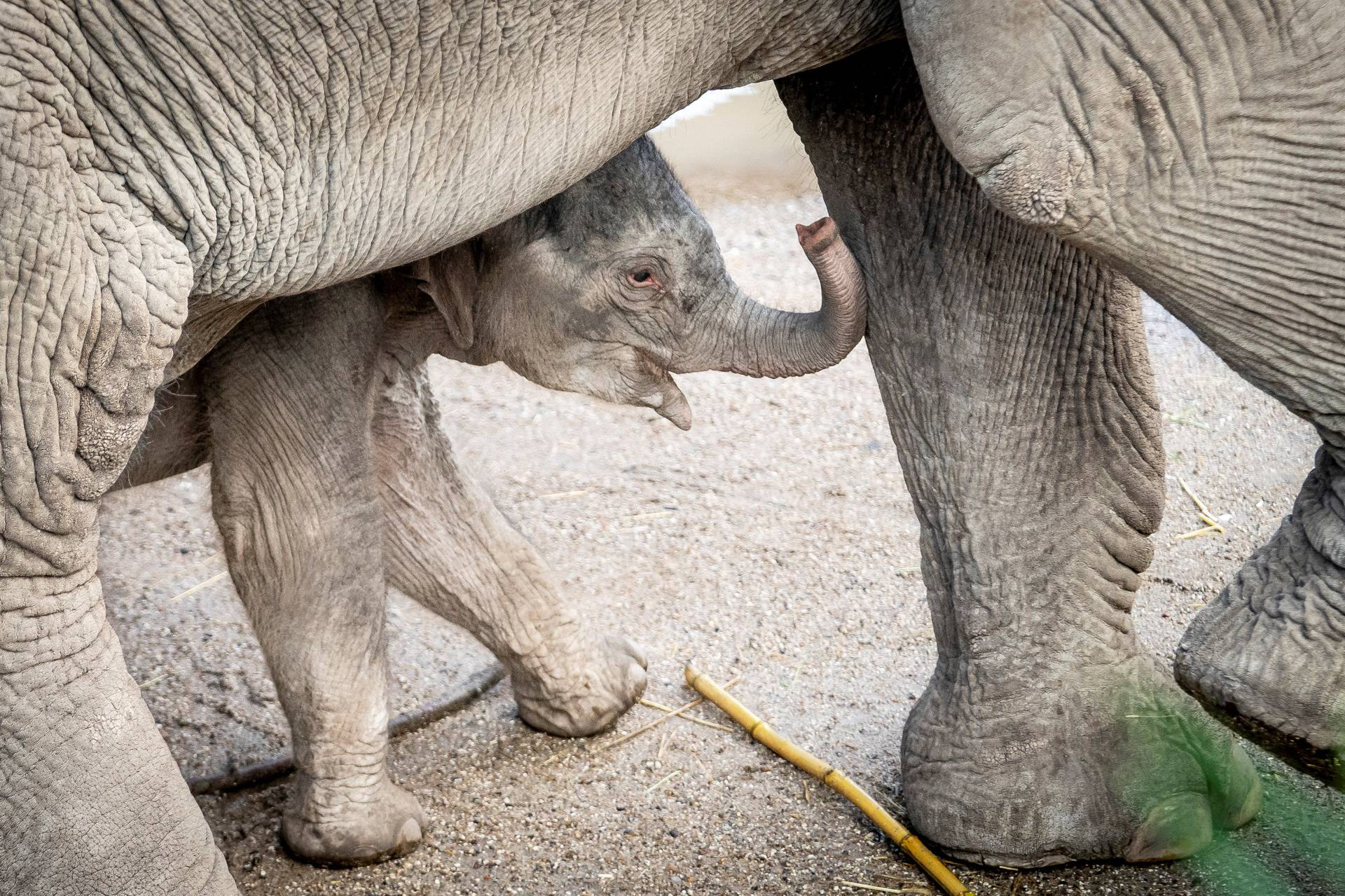 A baby elephant is seen near its mother Surin at outdoor facility of the Copenhagen Zoo