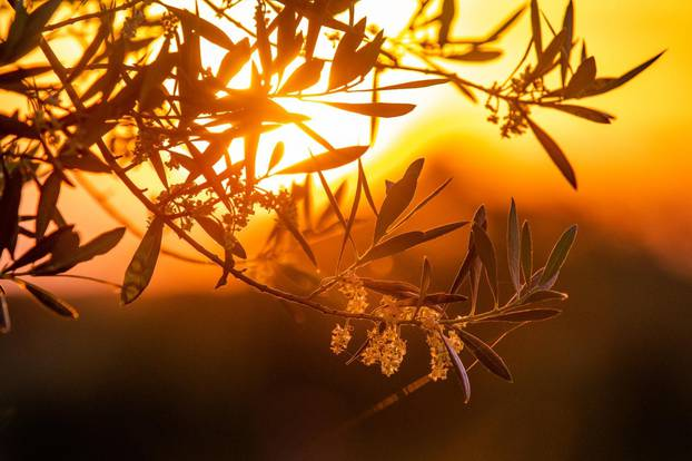 Zalazak sunca iznad maslinika u Balama