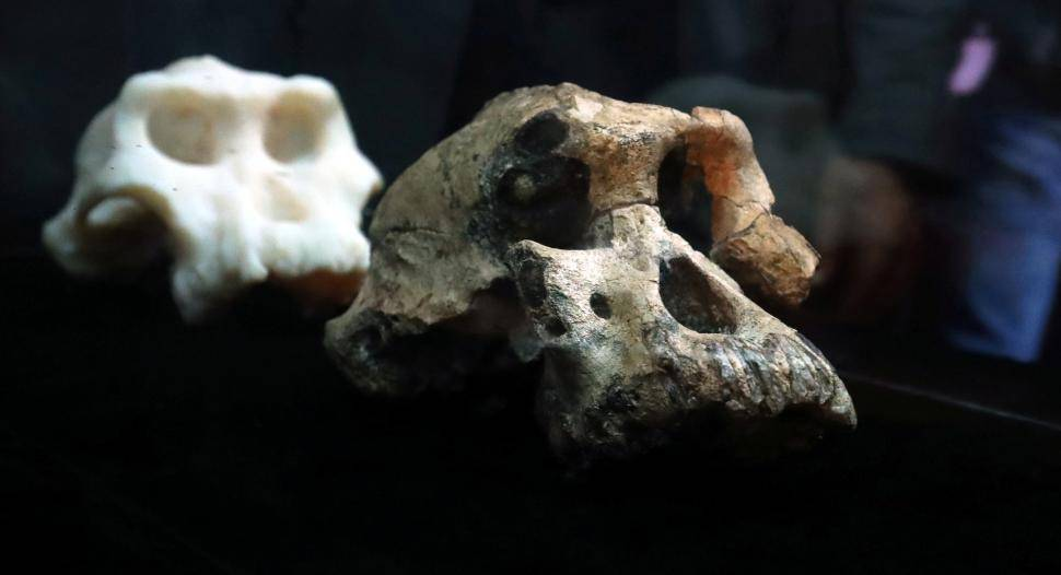 A fossil and three-dimensional print of Lucy's ancestor, 3.8 million years old cranium of Australopithecus Anamensis which was discovered in Waranso-Mile paleontological site, in Afar region, Ethiopia is seen at the National Museum in Addis Ababa