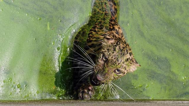 Kako leopard izlazi iz vode? Pa uz pomoć ljestvi, naravno
