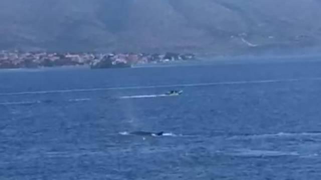 Dva kita plivala kod Korčule: 'Zalutali su i približili se obali'