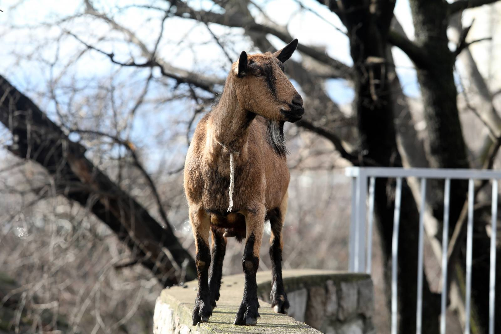 Rijeka: Koza na dječjem igralištu u naselju Gornja Vežica
