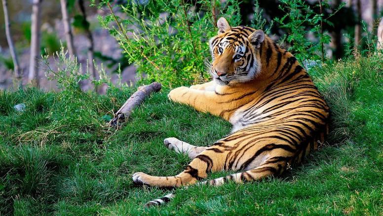 Prvi put: Tigar na nadmorskoj visini od 2500 metara u Nepalu
