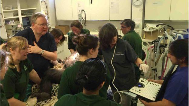 Operirali 3 sata:  Po prvi puta carskim rezom porodili gorilu