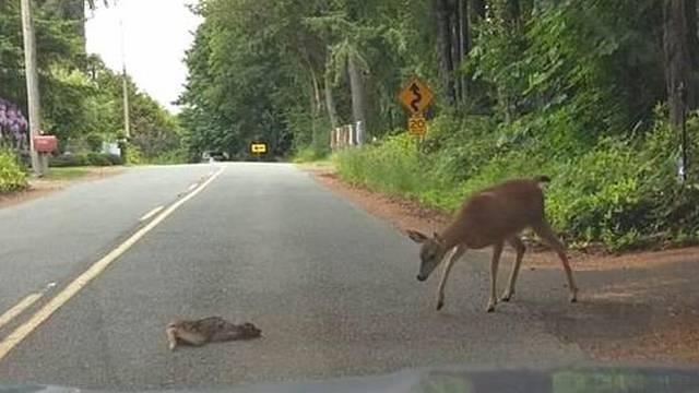 Preslatki video: Uplašeno lane ostalo na cesti pa došla mama