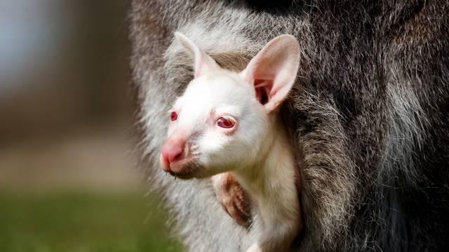 Albino baby wallaby