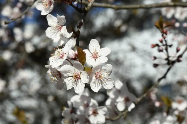Procvjetale grane divljih voćki