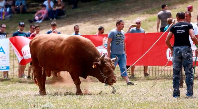 Borbe bikova i stari olimpijski sportovi spektakl u Radošiću