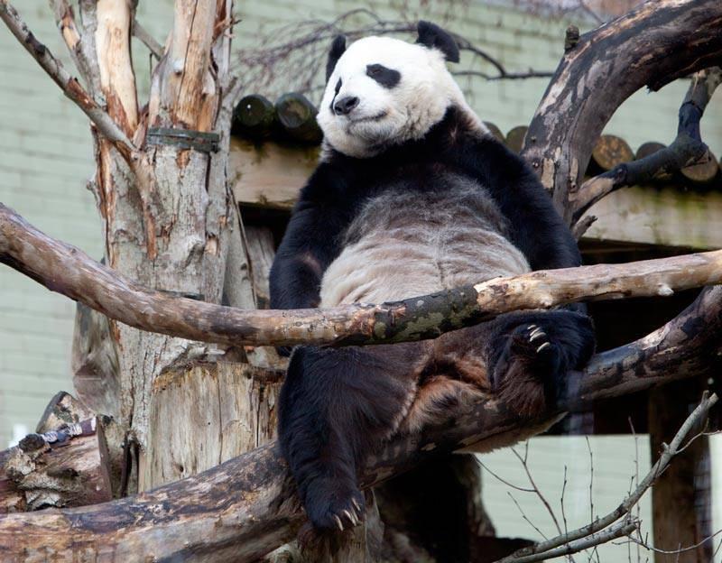 Zaljubljene pande ne mogu imati mlade, mužjak operiran