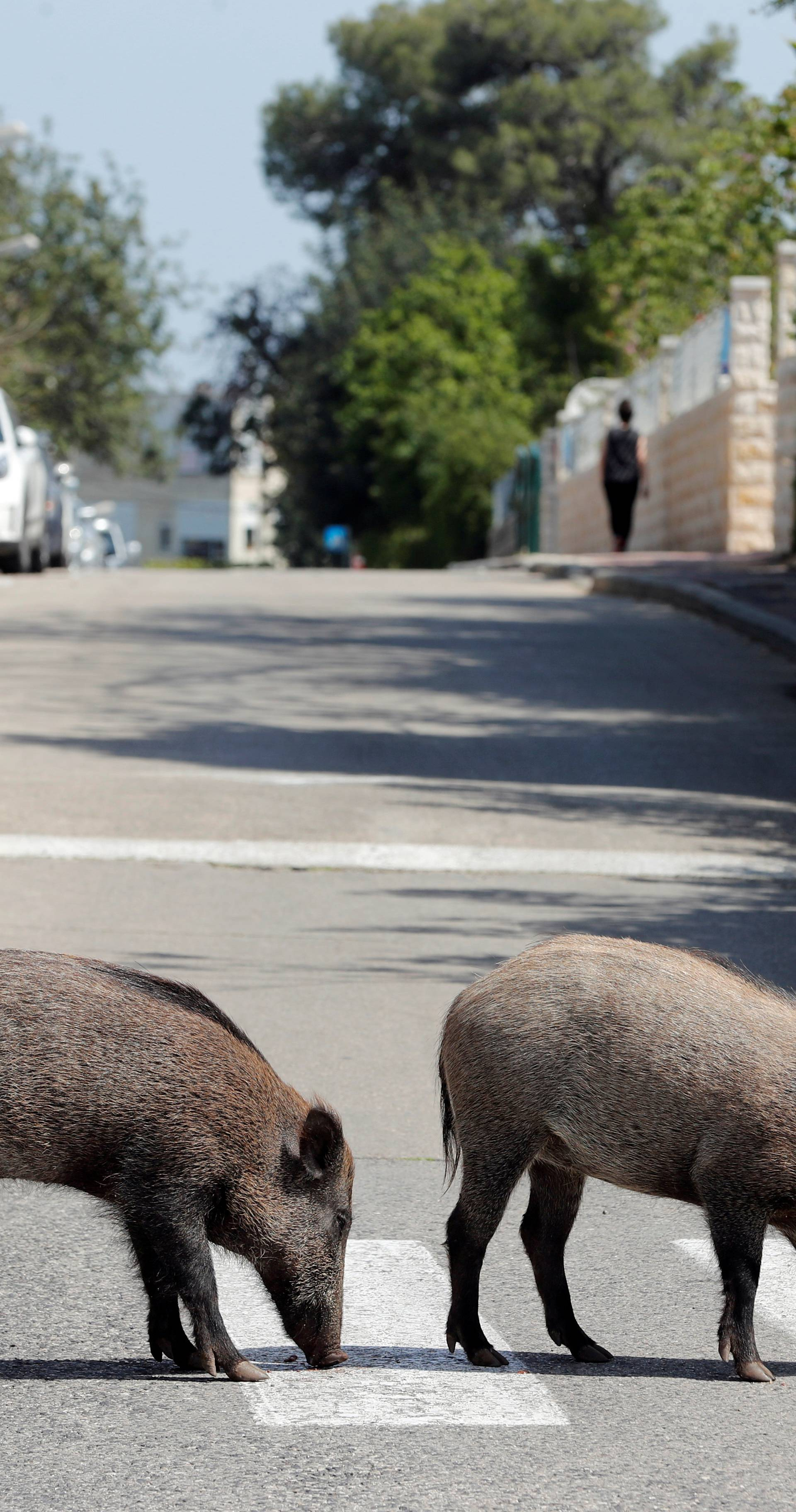 Kuda idu divlje svinje? Ovih dana u Izraelu - baš posvuda!