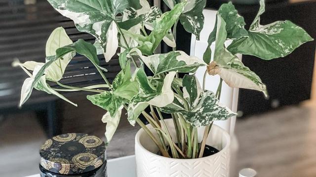 Zlatni puzavac: Biljka koju svaki dom treba jer pročišćuje zrak