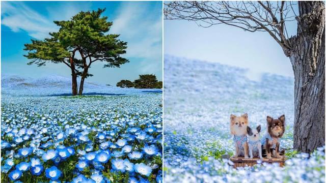 Najljepši park svijeta: Čarolija četiri milijuna plavih cvjetova