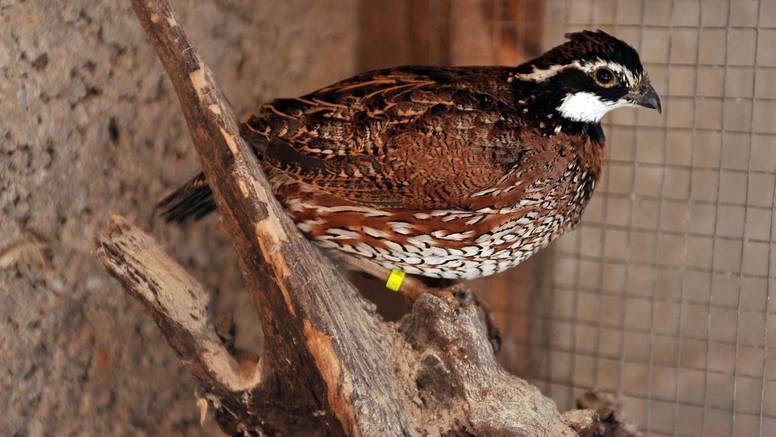 Od protuzakonitog lova strada čak 100.000 prepelica godišnje