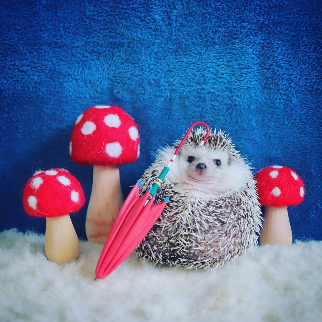 Najpoznatiji jež na internetu: Voli kišobrane, kupku i jabuke