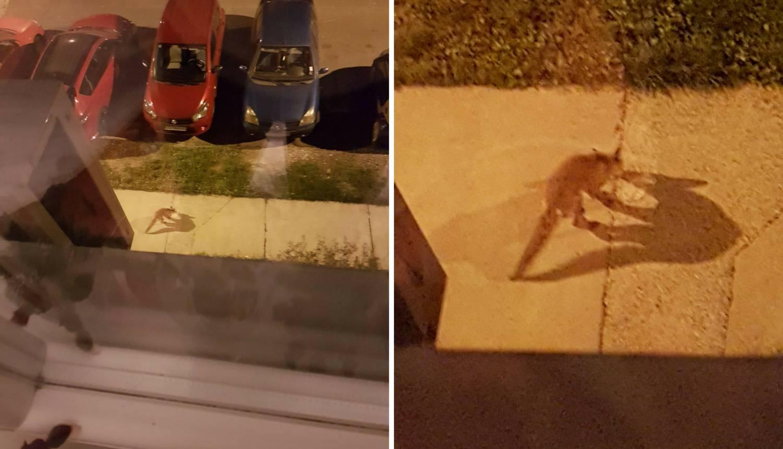 Lisice ljudima ulaze u dvorišta i jedu hranu iz kontejnera