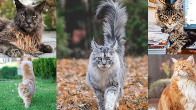 Kakve mačke! Nije ni čudo da su čupavice slavne na Instagramu!