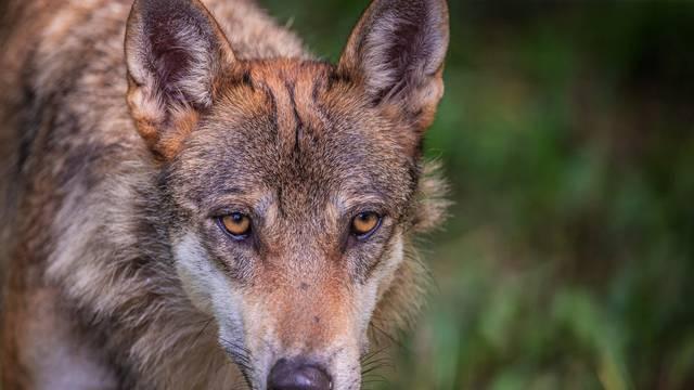 Otrovao zaklane krave i telad i tako mamio lisice, vukove...
