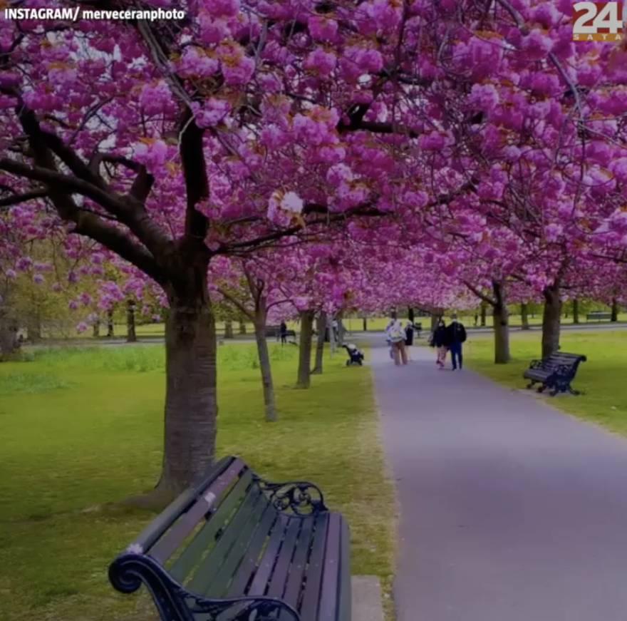 Kad procvatu japanske trešnje u Londonu: Prekrasni prizori iz Greenwich Parka obišli svijet