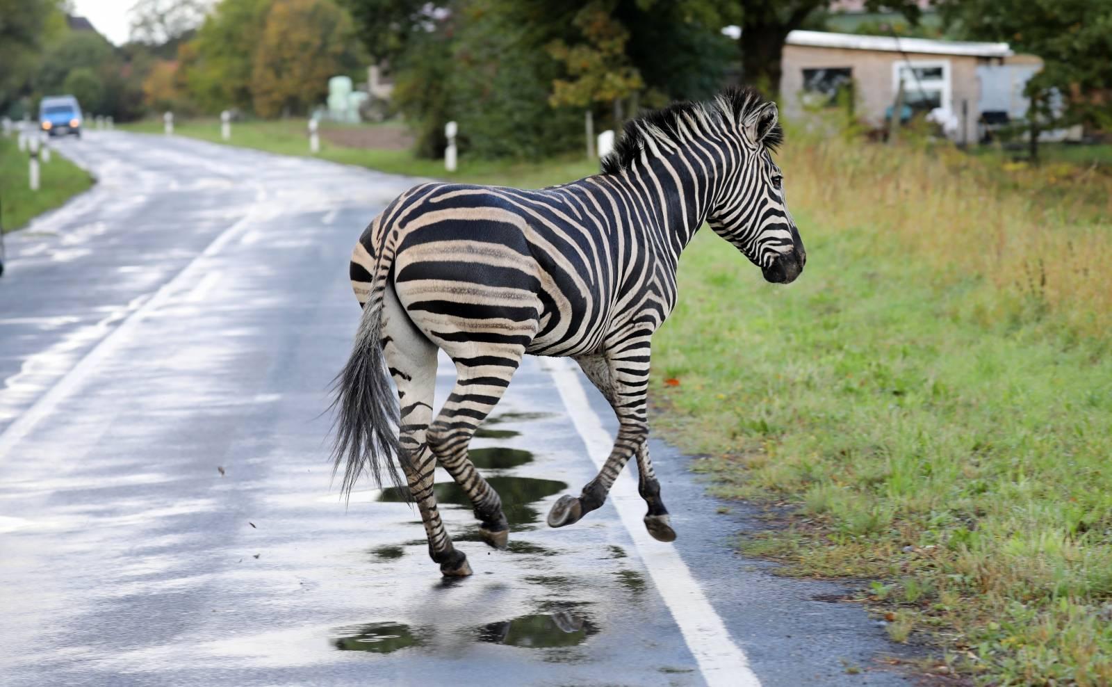 Circus zebras erupted