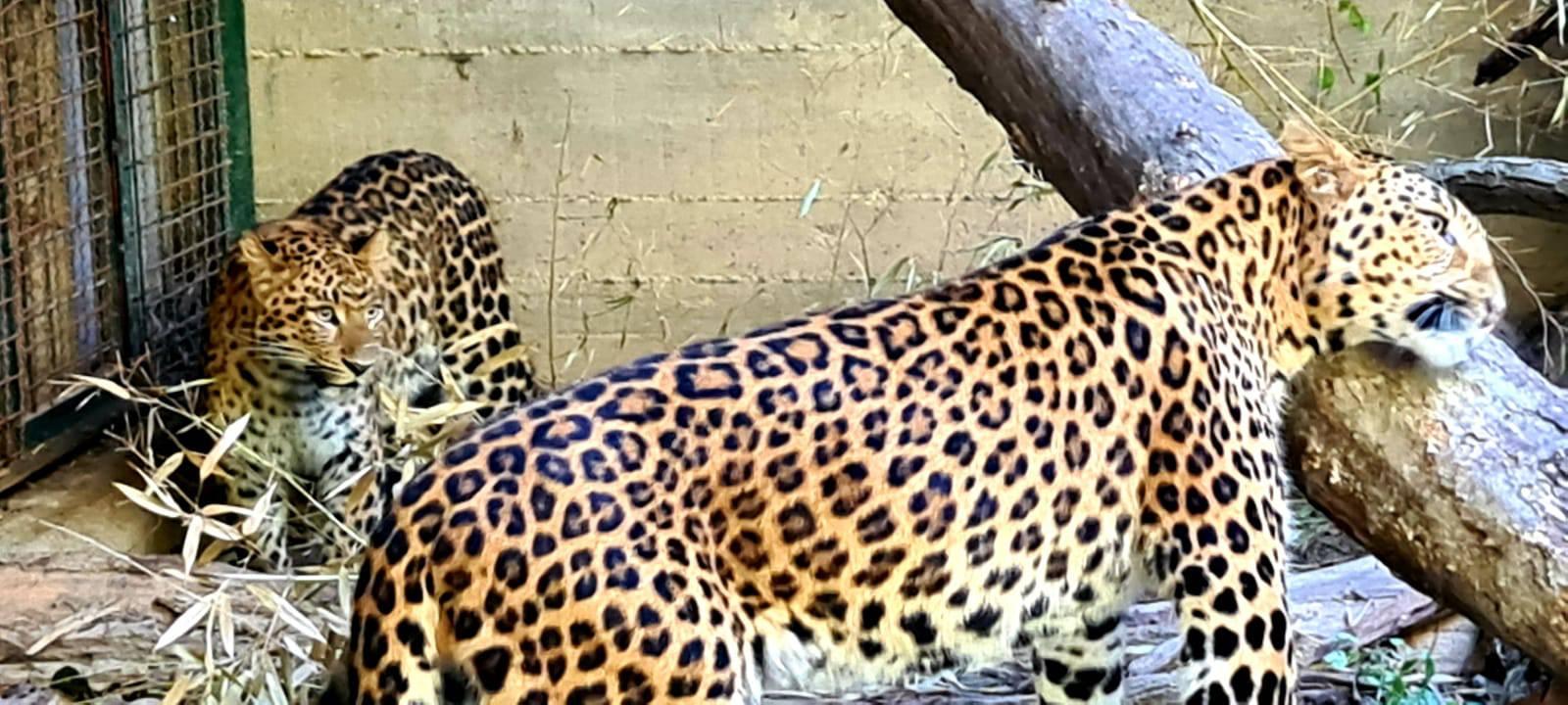 Leopardu Tadziku stigla 'cura' iz Austrije: 'Skroz se zatelebao'